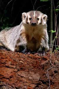 Investigation Reveals Honey Badger Does Care